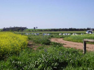 Bee hives in the canola fields