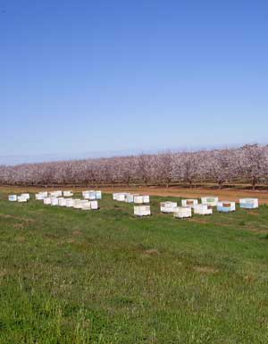 Hives in an Almond orchard